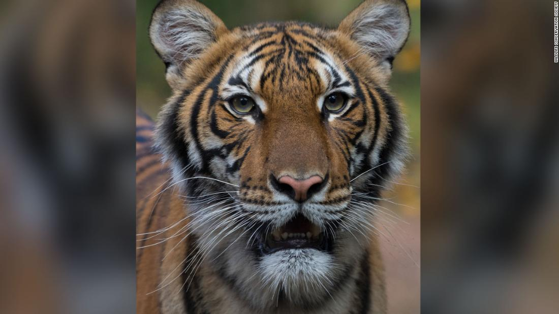 Tiger Corona