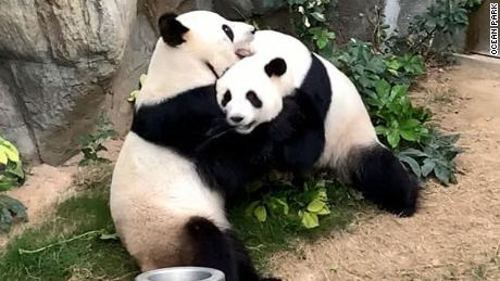 A zoo has been trying to get two pandas to mate for 10 years. When coronavirus shut the zoo down, the pandas finally did