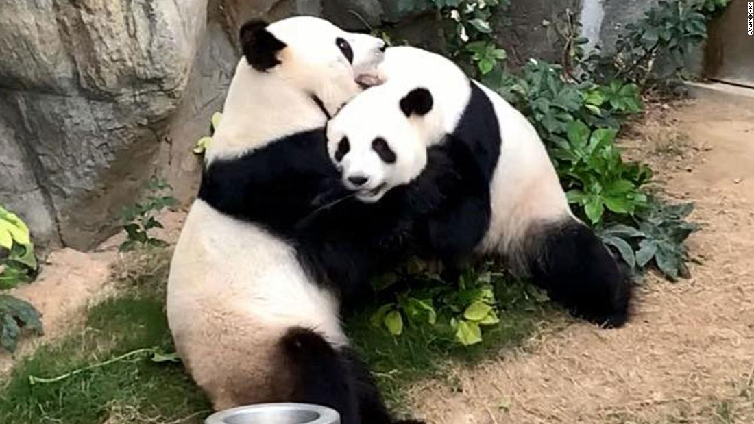 A zoo tried to get two pandas to mate for 10 years. The coronavirus lockdown solved the problem