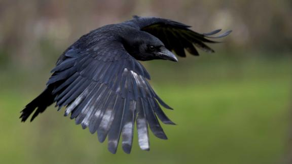 Carrion crows are one of many bird species that exhibit innovative behaviors.