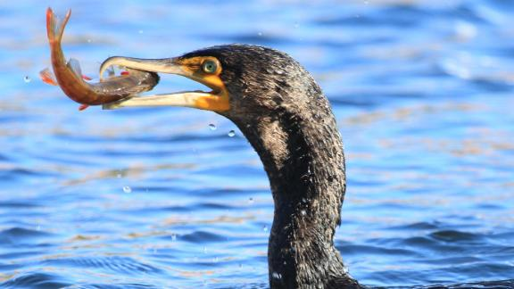 Great cormorants are one of a number of bird species that have exhibited innovative behaviors.