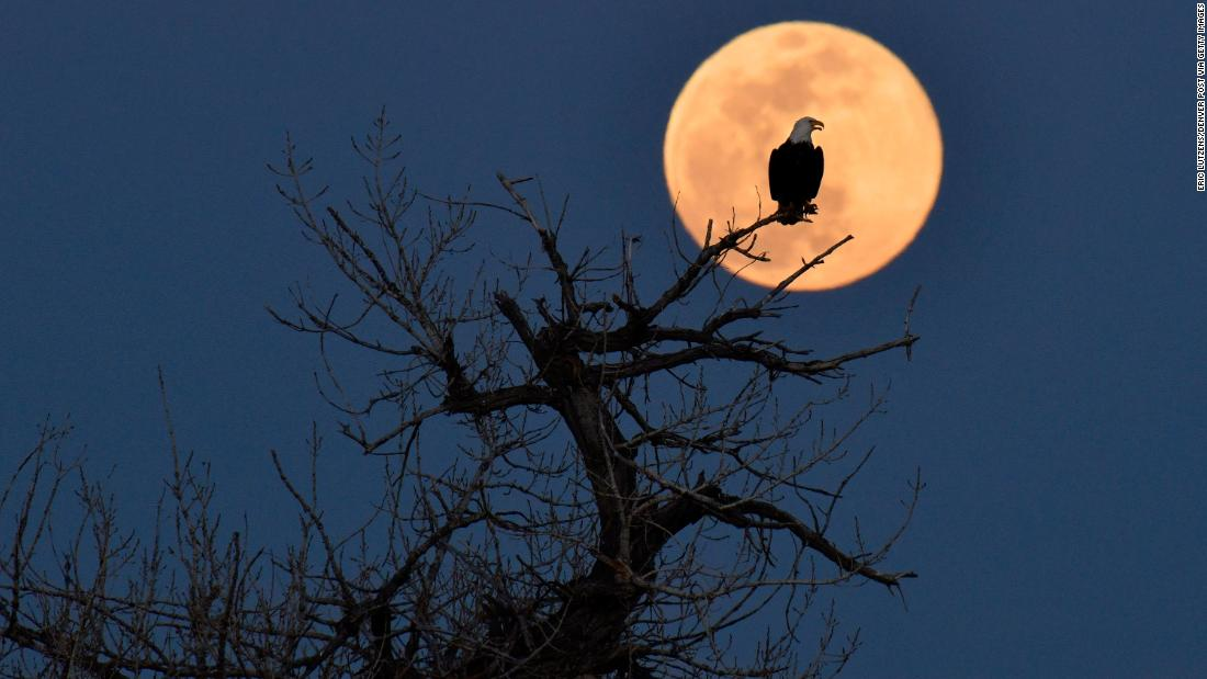 A bald eagle sits near its nest while the super pink moon rises in the distance at Chatfield State Park in Littleton, Colorado.