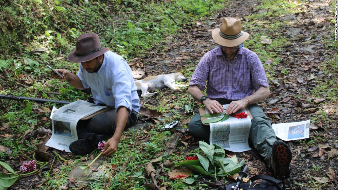 Botanists Mauricio Diazgranados and Andres Felipe Bohorquez Osorio processing plant specimens in Serrania de las Quinchas, as part of the latest Colombia Bio Programme expedition in February 2020.