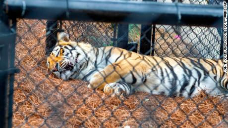 """Mike the Tiger"" rests in his habitat during a basketball game between the Georgia Bulldogs and the LSU Tigers at the Pete Maravich Assembly Center in Baton Rouge, Louisiana, on March 7."