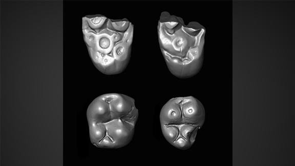 Tiny molar teeth of Ucayalipithecus perdita from the Santa Rosa fossil site in Amazonian Perú.