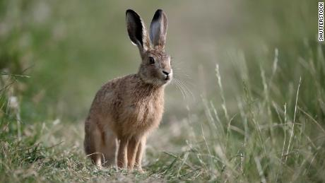 Brown hares are thought to have been associated with a hare goddess.