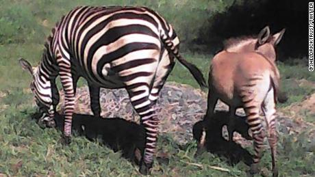 Zebră și zonkey pentru bebeluși.