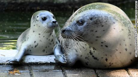 "A baby female sea lion ""Jogi"" lies next to its mother ""Eike"" in the zoo in Neumünster, Germany, on July 11, 2014."