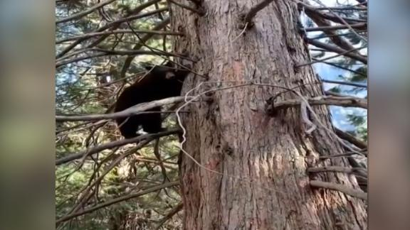 Yosemite National Park recently posted video of this bear climbing a tree near ranger housing.