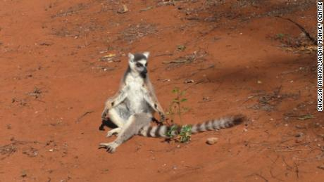 This image shows a male lemur with clearly visible glands on its wrists.