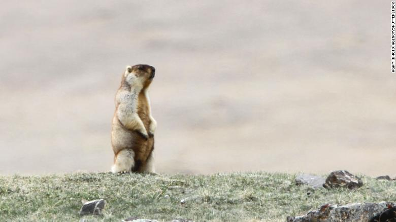 A Marmots Pic, Image Courtesy:USU Extension – Utah State University