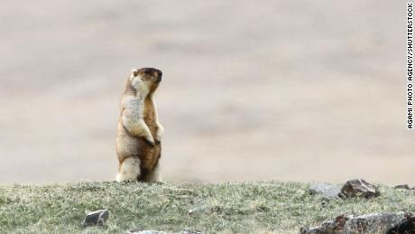 Tarbagan marmot (Marmota sibirica), a species of rodent in the family Sciuridae, in steppes around Khukh Lake, Mongolia.