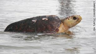 Sea turtles are thriving as coronavirus lockdown empties Florida beaches