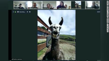 Paco the llama joins a video conference call from an animal sanctuary in California.