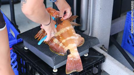 During the study, thousands of fish were weighed and their fin clips removed for genetic analyses.