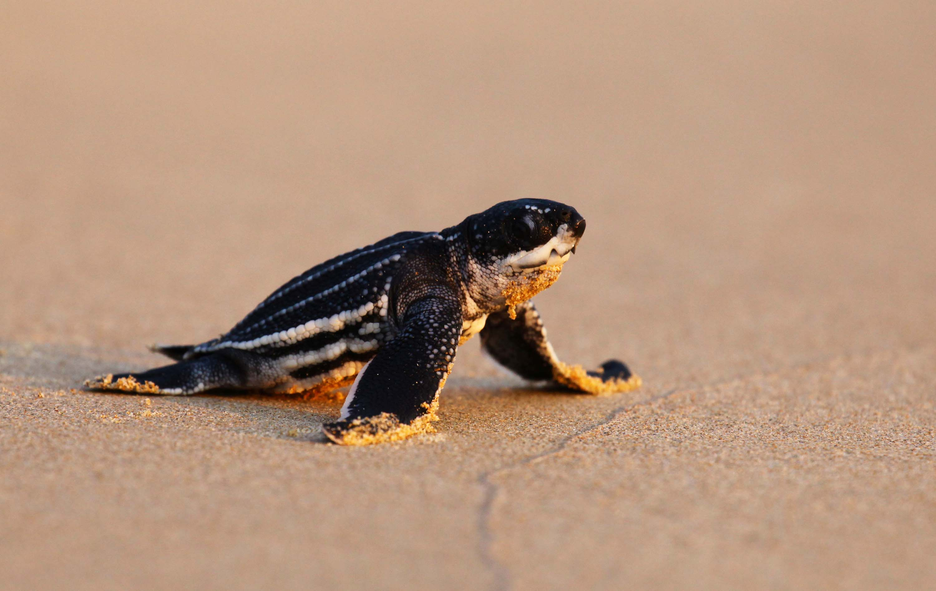 Sea Turtles Thriving In Thailand After