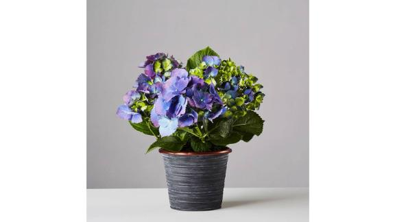 Small Blue Hydrangea Plant