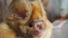 Skin flaps contribute to the name of leaf-nosed bats.