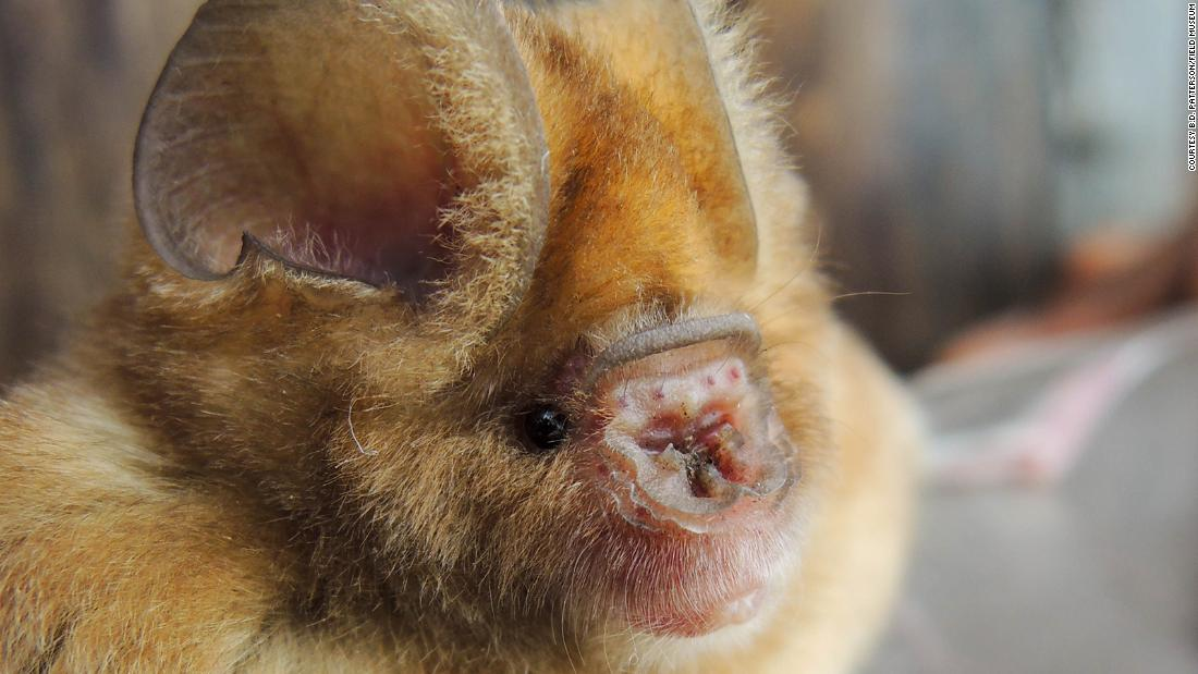 DSCN0860—One of the new bat species. We found Hipposideros caffer (Sundevall's leaf-nosed bat) to consist of 8 distinct lineages; 3 of these (including this bat) appear to be new to science (photograph courtesy of B.D. Patterson/Field Museum)