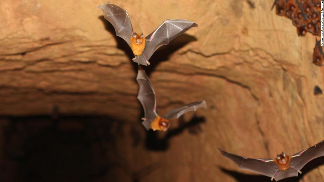Members of a third new bat species. A colony of what is apparently a new species of Hipposideros from an abandoned gold mine in Western Kenya (photograph courtesy of B.D. Patterson/Field Museum)
