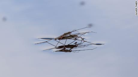 Contrary to the trend for land-dwelling insects, the number of freshwater insects has increased. This could be due to effective water protection measures. The photo shows common water striders (Gerris lacustris) while mating.