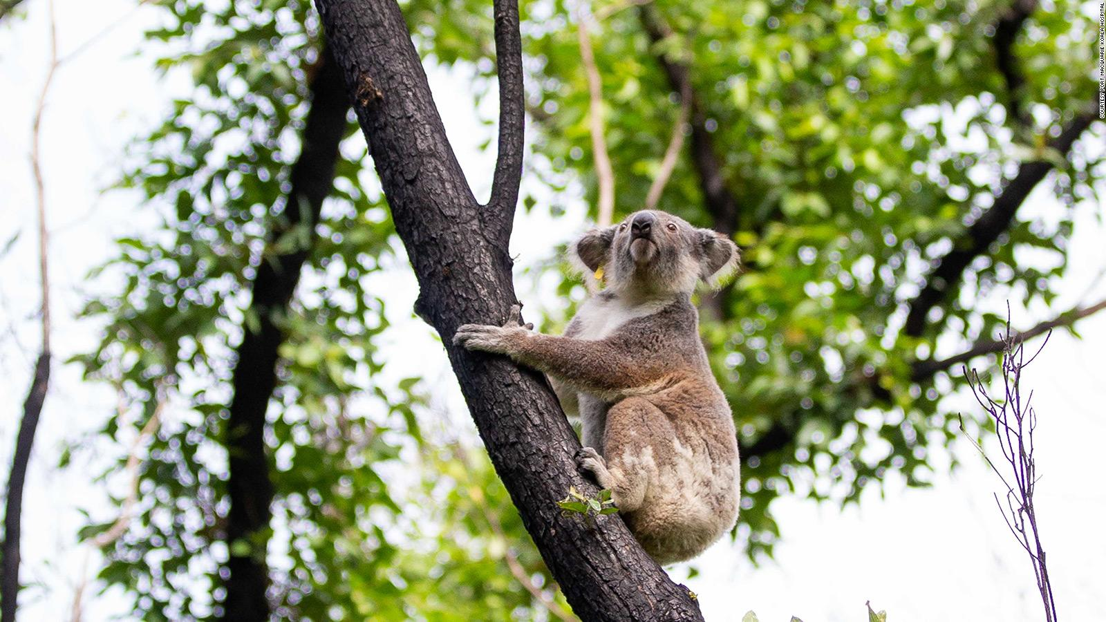Koalas Injured In Australia Bushfires Re Released Into Wild Cnn Travel