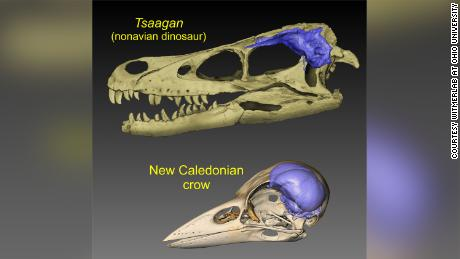 Thes visuals show brain endocasts (blue) from the skulls of a dinosaur and a modern bird.