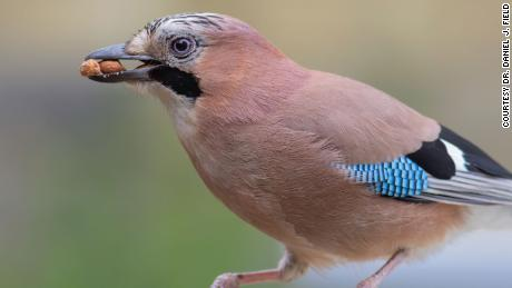 This Eurasian Jay is a member of the large-brain bird family called corvids.