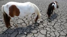 Horses look for grass to graze in a field cracked by drought in Corsica.