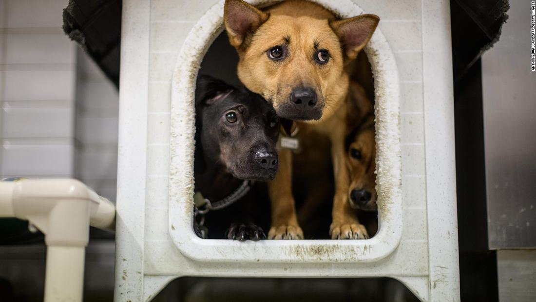 Dogs awaiting adoption or foster care crowd together together inside a doghouse at a Hong Kong Dog Rescue homing center. Shelters in Hong Kong reported that a higher-than-average number were adopted in March.