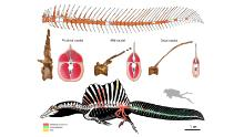 Top: reconstruction of the tail skeleton of Spinosaurus (missing bones shown in white). Center: cross sections through the tail showing changes in the vertebrae, tail volume, and arrangement of major muscles. Bottom: the new - and surprising - look of Spinosaurus (black, soft parts/body outline; red, bones collected in 2008 by a local fossil collector; green, bones from recent scientific excavations; yellow, bone fragments collected in the debris around the main excavation area).