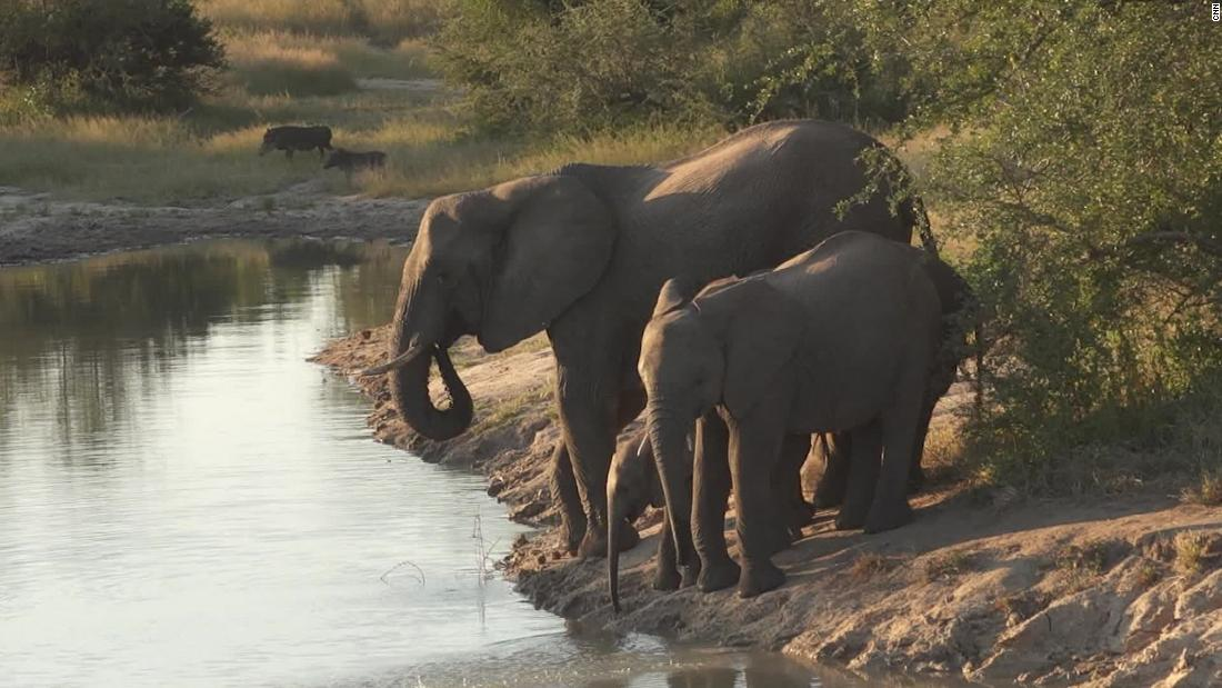 Suspected poacher trampled to death by elephants in South Africa – CNN
