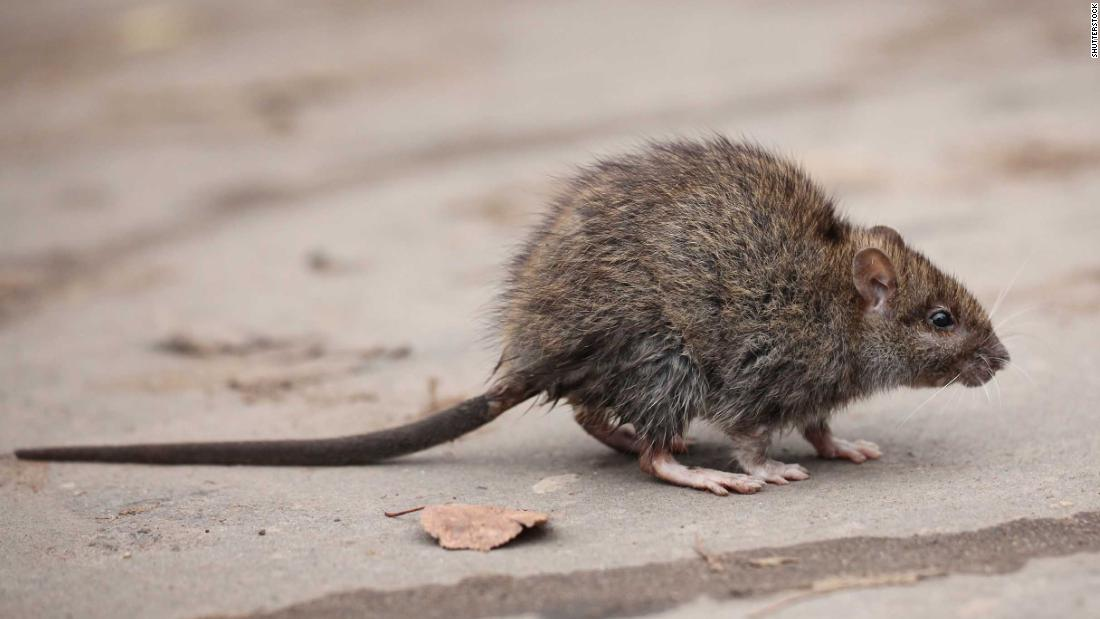 Rats are infecting humans with hepatitis, and nobody knows how