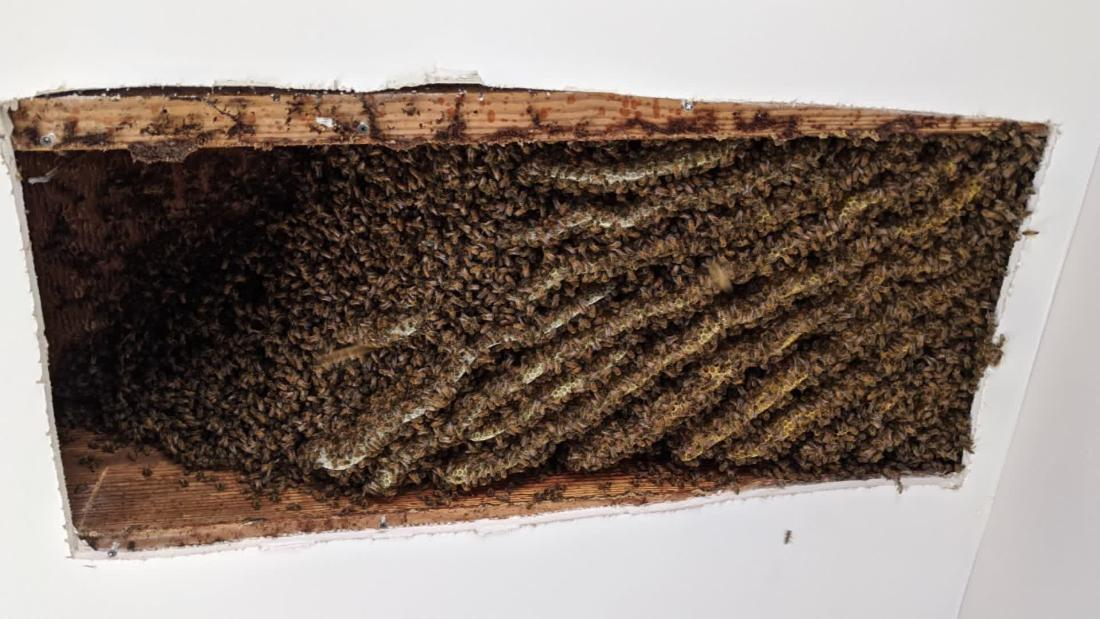 Georgia man finds around 100,000 bees living in his home