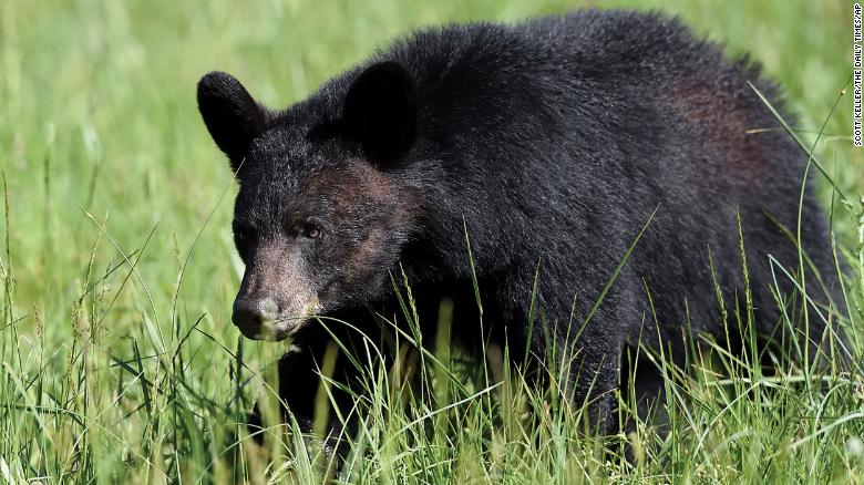 A 72-year-old man and his dog are recovering after being attacked by a black bear in Oregon on Sunday. Pictured here: A black bear walking through a field in Cades Cove in Tennessee. This isn't the bear that attacked the man.