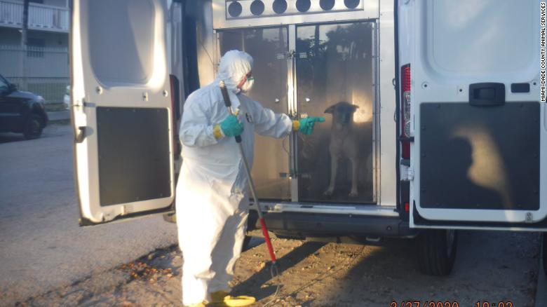 Linda, un mix di pastori, è stata salvata da Miami-Dade County Animal Services da una casa a nord-est di Miami, dove le autorità hanno stabilito che il suo proprietario è morto di coronavirus.