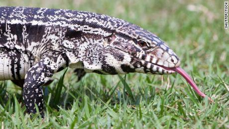 tegus lizard georgia officials are asking the public to
