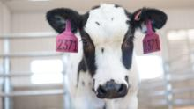 Human trials are expected to begin next month for treatment with Covid-19 derived from cows' blood
