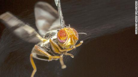 An apple fly tethered with a tiny needle as it tries to distinguish the size and distance of virtual objects.