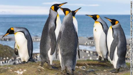 King Penguins on the island of South Georgia in St Andrews Bay.