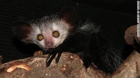 """Evolutionary distinct"" species like the Aye-Aye lemur, could be lost to extinction, researchers warn."