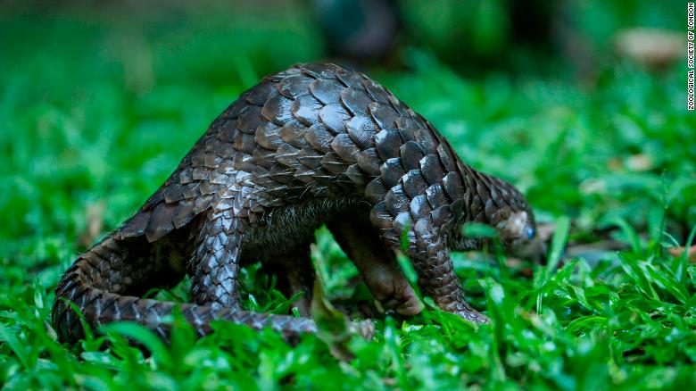 Pangolins are under threat.
