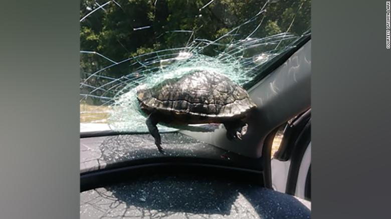 The turtle died after crashing into the windshield of a car