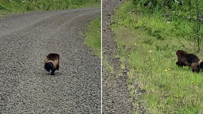 A wolverine was spotted on May 20 by Jacob Eaton in Naselle.