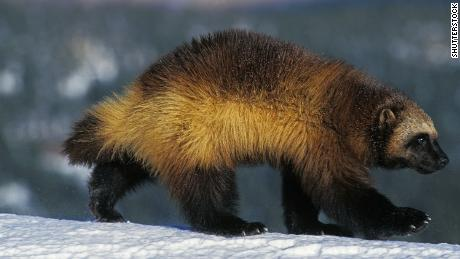 A stock photo of a wolverine.