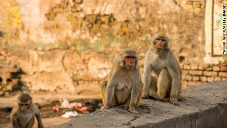 AGRA, INDIA - FEBRUARY 23: Monkeys sit on roads and climb walls in a residential area outside Taj Mahal  on February 23, 2020 in Agra, India. Authorities have made elaborate security arrangements in the city ahead of US President Donald Trump and his familys visit to the iconic Taj Mahal, a  17th-century mausoleum built by Mughal Emperor Shah Jehan that draws millions of tourists from India and abroad annually. The UNESCO World Heritage Site is being specially spruced up for  the  occasion and authorities have even deployed five langurs in addition to over 120 security personal to tackle local monkeys who often prove to be a nuisance for visitors. (Photo by Yawar Nazir/ Getty Images)