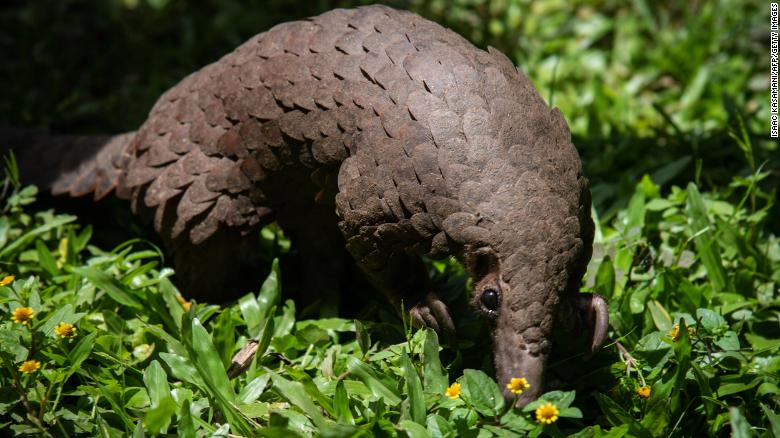 A white-bellied pangolin  rescued from local animal traffickers at the Uganda Wildlife Authority office in Kampala, Uganda, on April 9, 2020.