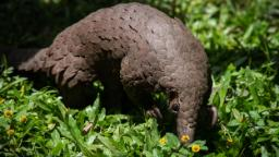 Pangolins may have incubated the novel coronavirus, gene study shows