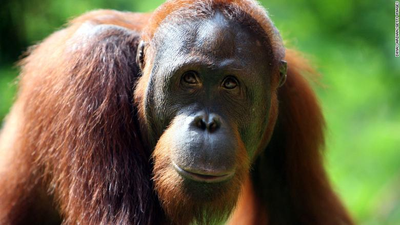 Orangutans are being wiped out as their habitat continues to disappear.