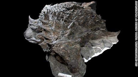 The fossil of the nodosaur is incredibly well preserved.